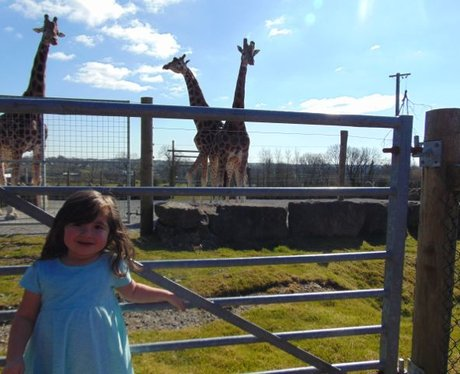 The Giraffes proved to be popular at Folly Farm!