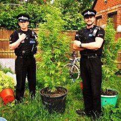 harlow cannabis plant 2