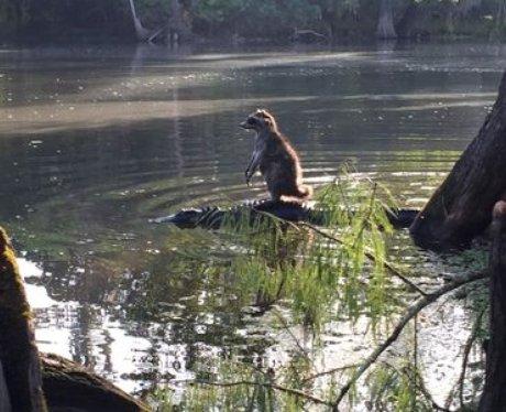 Racoon riding crocodile