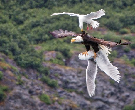 Eagle and Seagull
