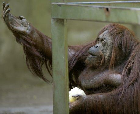 Orangutan Hamlet Shakespeare
