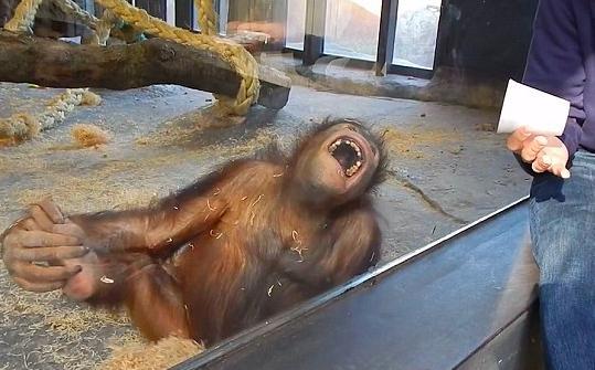 Orangutan Magic Trick YouTube 1
