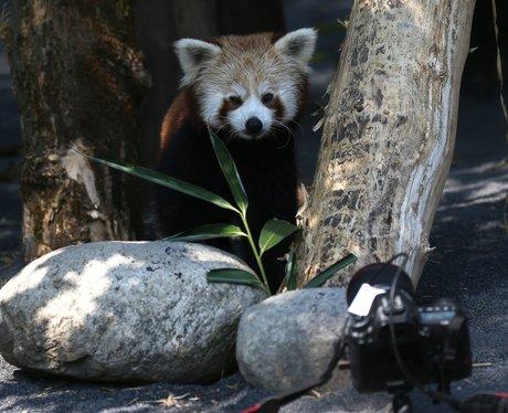 Red Panda Self Timer Selfie