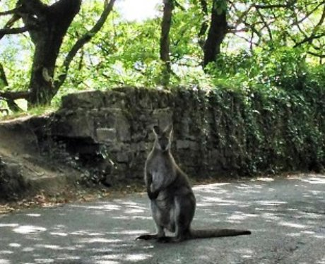 On-the-run wallaby
