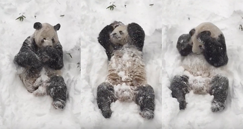 Panda playing in the snow