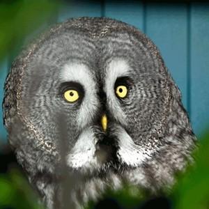 Stolen Owl kevin