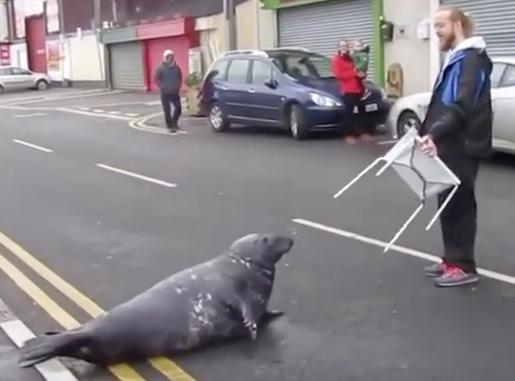 Hungry seal crossing the road
