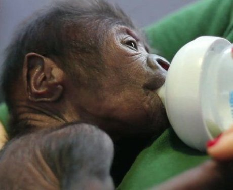Baby Gorilla Born At Bristol Zoo