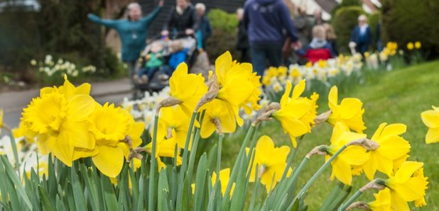 More Interesting Than Food Narcissus >> Thriplow Daffodil Weekend Country Fair 2019 Heart Cambridgeshire