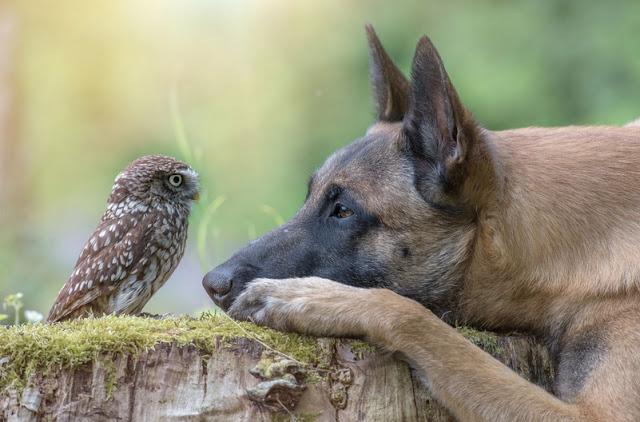 Best mates Ingo and Poldi, the Belgian Shepherd an