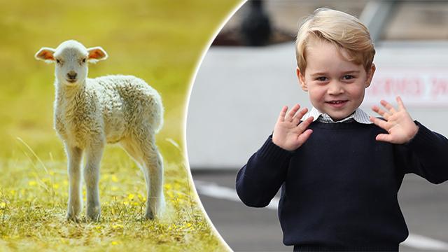 Prince George Sheep