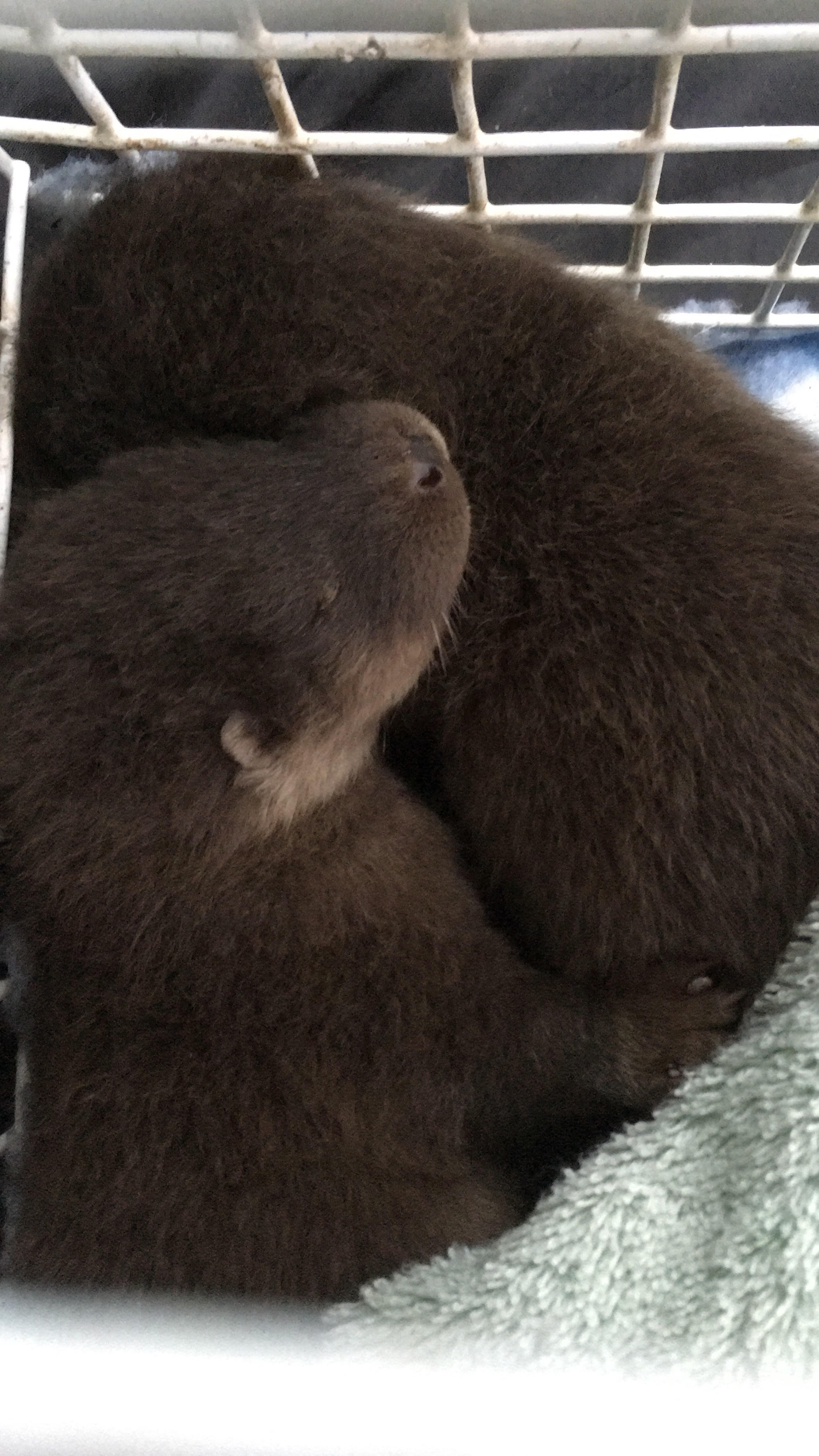 Rescued Suffolk otter pups