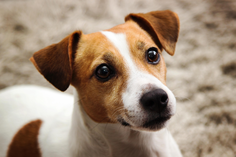 UK's Favourite Dog Breed
