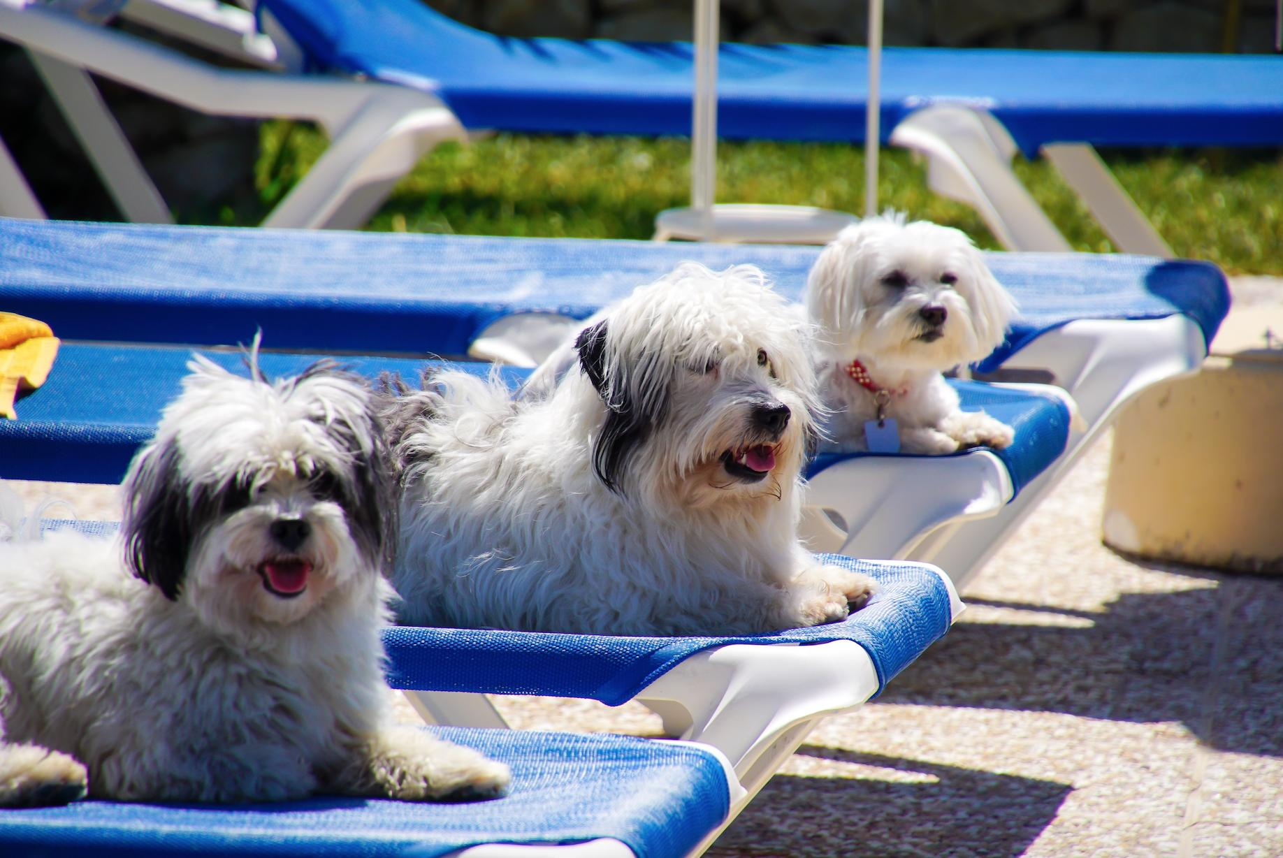 Dogs On Sun Beds