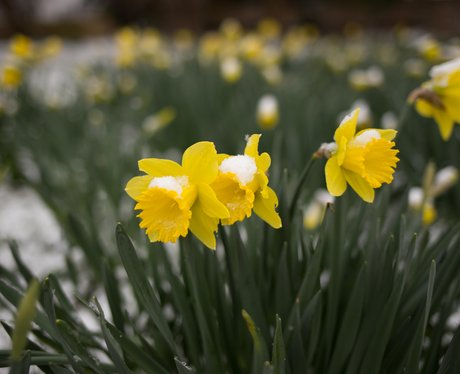 Thriplow Daffodil Weekend 2018