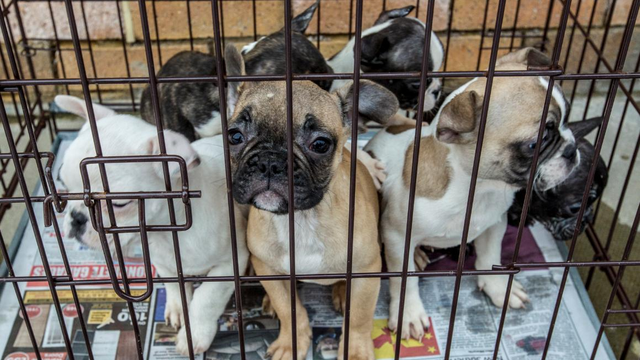 Scottish Minister Unveils Puppy Buying Guide To Stop Illegal