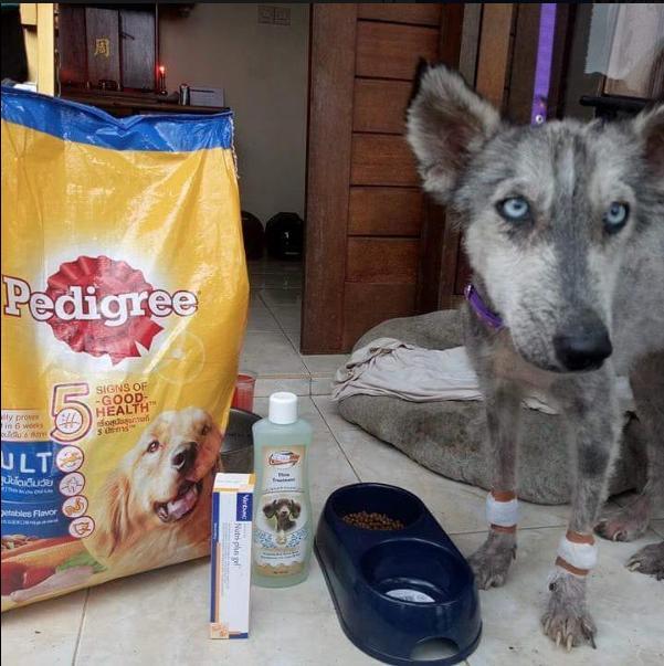 Husky Dog rescued