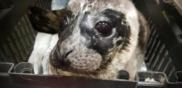 Vip Airlift For Seal Pup Found Abandonded Heart Scotland