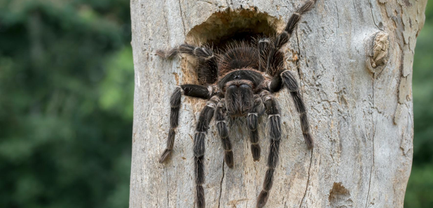 Two venomous tarantulas u0027the size of dinner platesu0027 are on the loose in the UK & Two venomous tarantulas u0027the size of dinner platesu0027 are on the loose ...