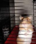 Jamie the hamster back in his cage