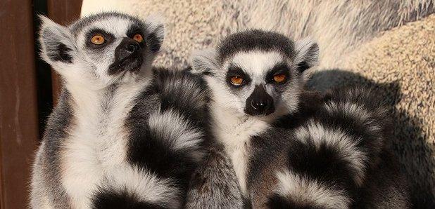 Oxfordshire Zoo Celebrates 'Lemur Week'
