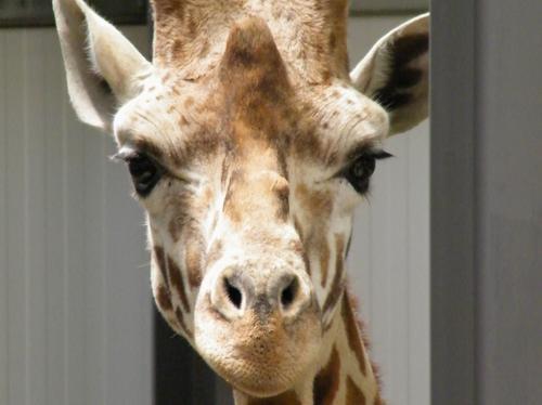 Giraffes arrive at Cotswold Wildlife Park