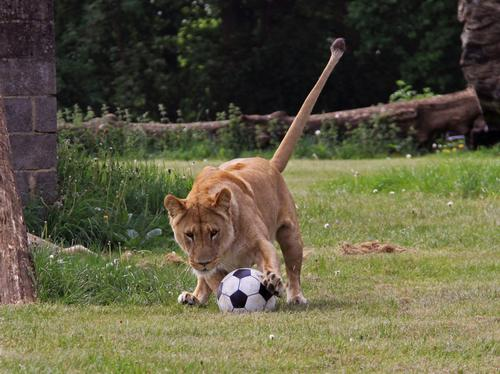 Lions at Longleat World Cup
