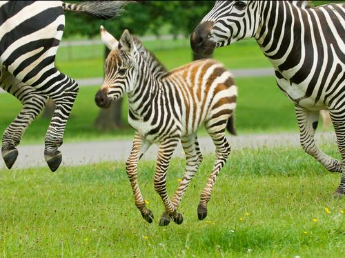 zebra longleat